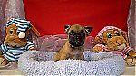 thumb_chiot_bulldog_francais_a_vendre_0122~1.jpg