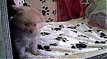 thumb_keeshond-teef5826~0.jpg