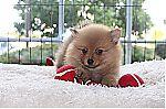 thumb_kleine-keeshond-teef-1039-1_28kopie29.jpg
