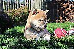 thumb_shiba-inu-reu-1265-4_28kopie29.jpg