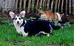 welsh-corgi-pembroke-puppies-te-koop.jpg
