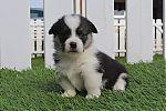 welsh-corgi-pembroke-tricolor-meisje1881_resize~0.jpg